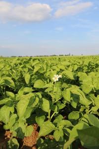 Kartoffelpflanzen blühen