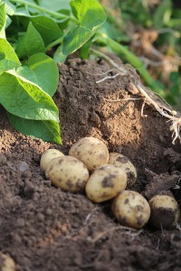 Frühkartoffeln in der Erde