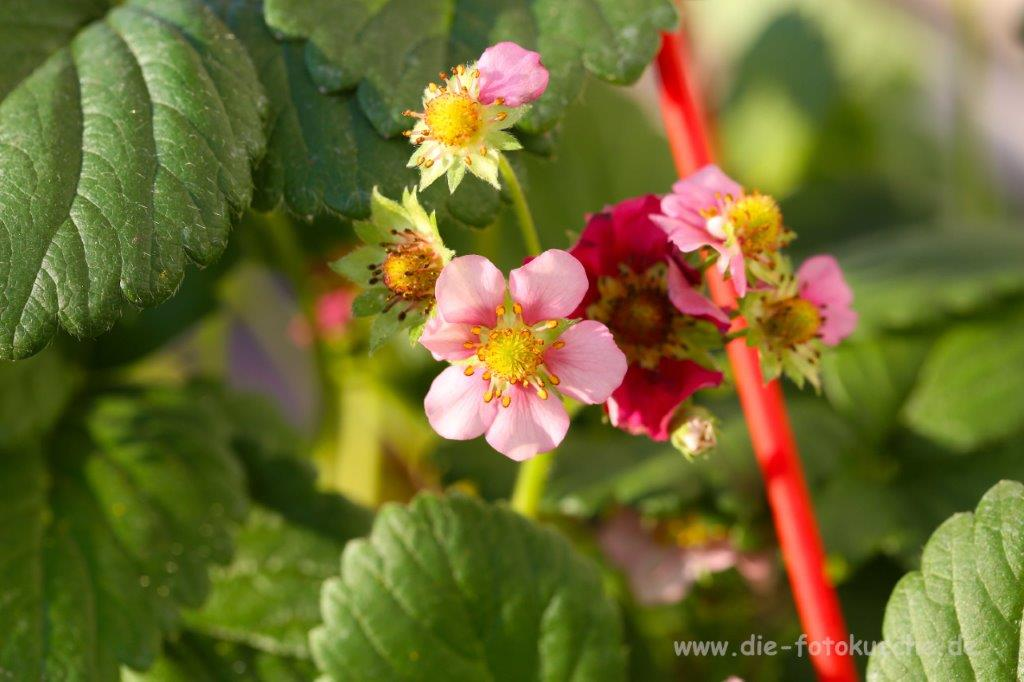 8B7A7921 1 erdbeerbluete mit quelle klein