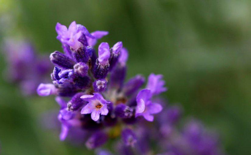 Lavendel: Wellnessnesskraut aus der Provence
