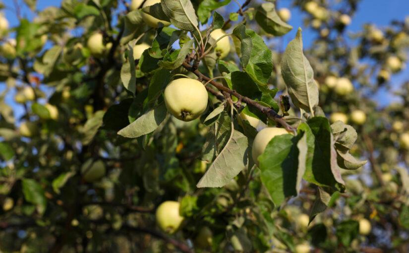 Sommeräpfel – erfrischend säuerlich