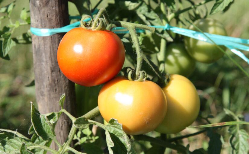 Tomate – der Liebesapfel unter den Fruchtgemüsen